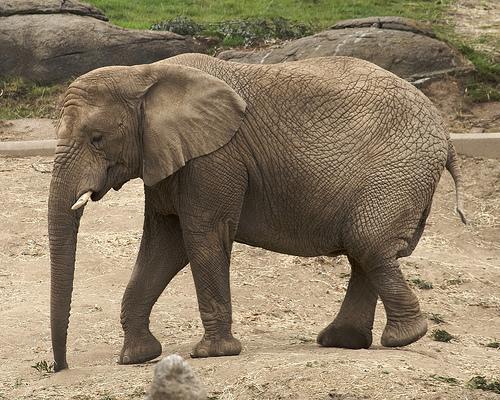 アフリカゾウの画像 p1_25