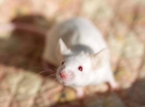 ハツカネズミの画像 p1_18